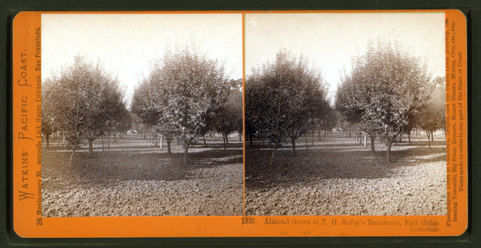 "Californians have been growing almonds for a long time. ""The Almond Grove At  T. H. Selby's Residence, Fair Oaks, Cal."" ca. 1870. NY Public Library"