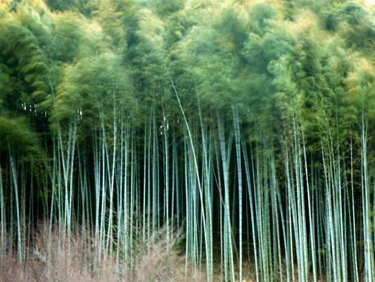 Bamboo: textiles, building materials and carbon sequestration